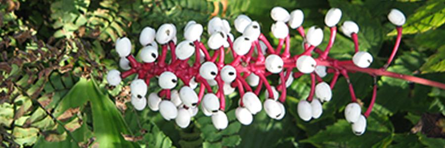 Erva-de-São-Cristóvão (Actaea pachypoda).