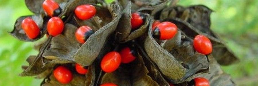Ervilha do rosário ou jiquiriti (Abrus precatorius).