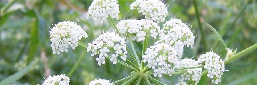 Cicuta (Cicuta maculata).