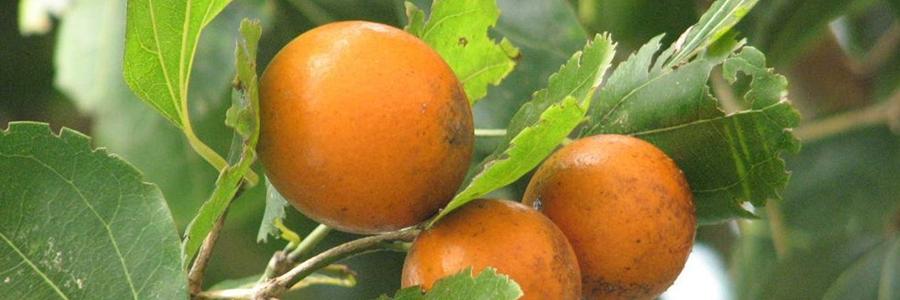 Nuz-vômica-(Strychnos-nux-vomica)