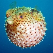 10. Peixe-balão ou baiacu (Tetraodontidae)