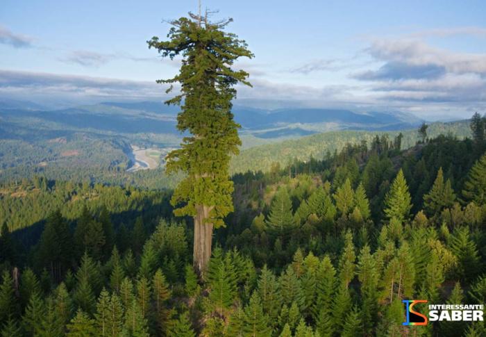 Descubra qual é a maior árvore do mundo
