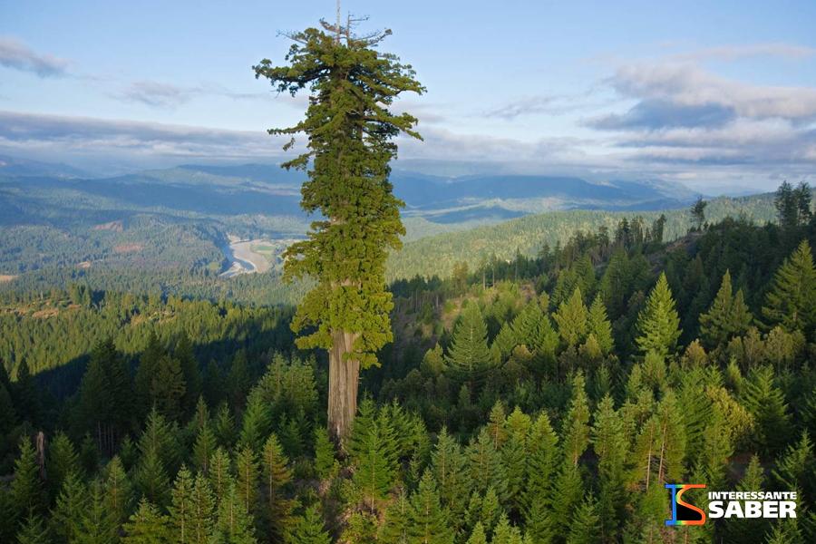 A maior árvore do mundo atualmente. Sequóia batizada de Hyperion.