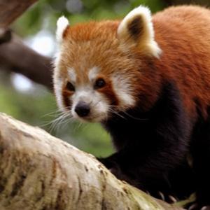 A mascote do navegador Firefox não é uma raposa!