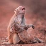 Foto incrível! A angústia de uma mãe macaca ao segurar seu filho ferido