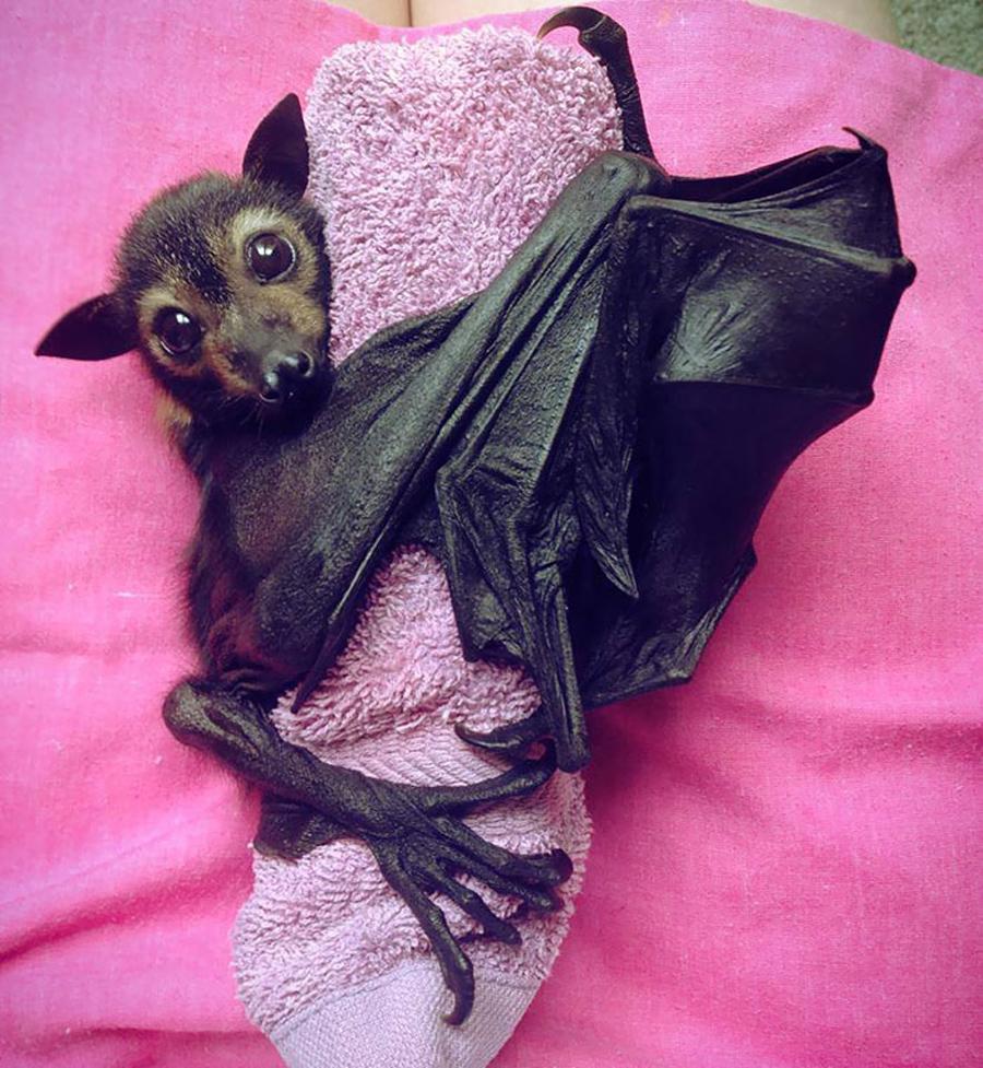 morcego-asas