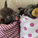 Várias imagens mostram que até morcegos podem ser fofinhos