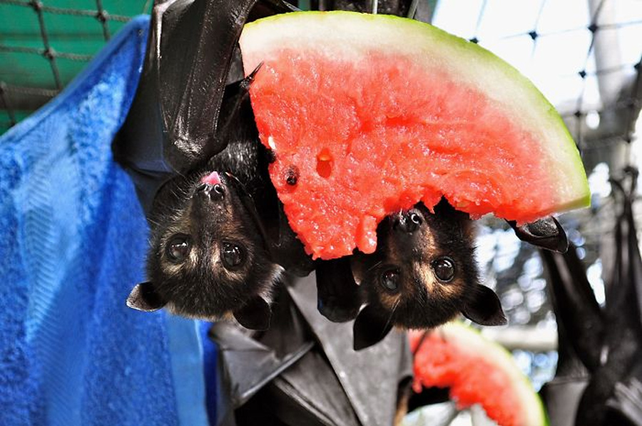 morcego-come-frutas