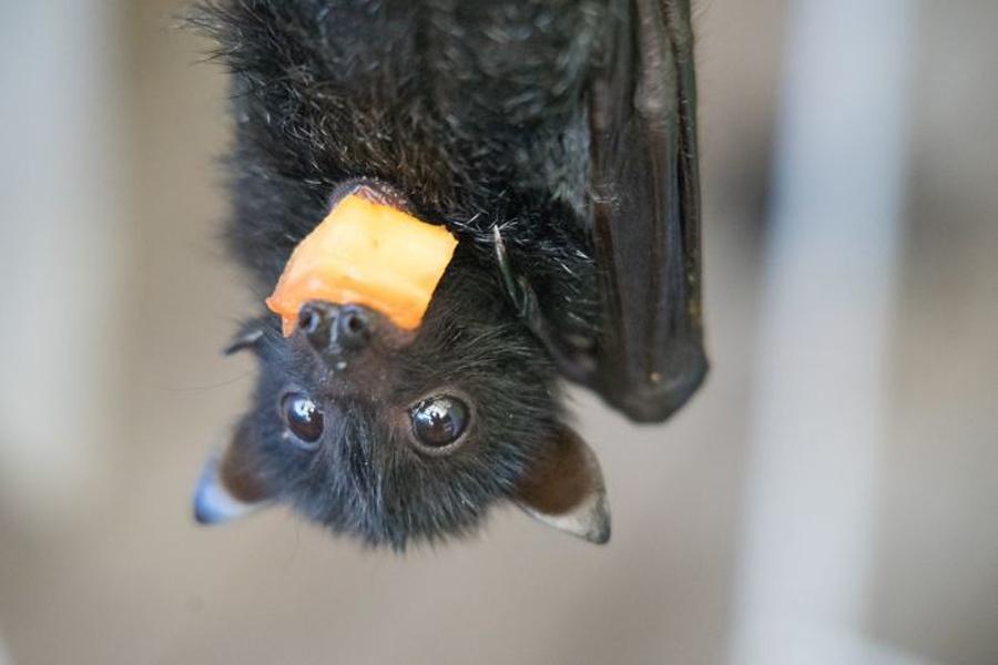 morcego-comendo-de-cabeça-para-baixo