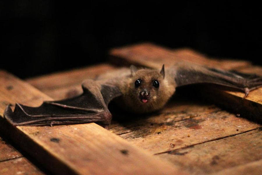 morcego-de-asas-abertas