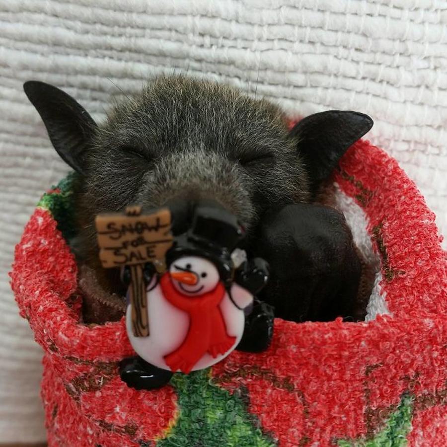 morcego-dormindo