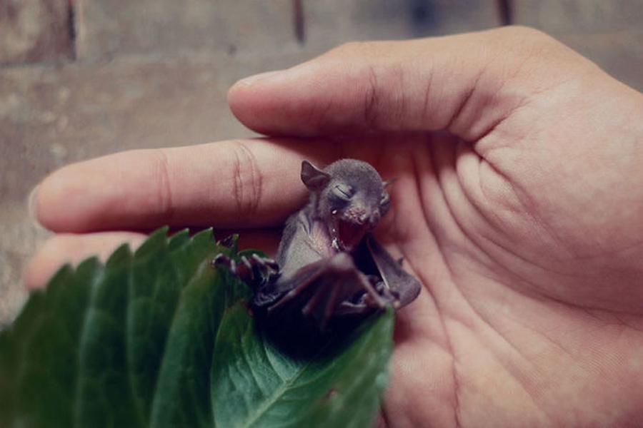 morcego-frágil