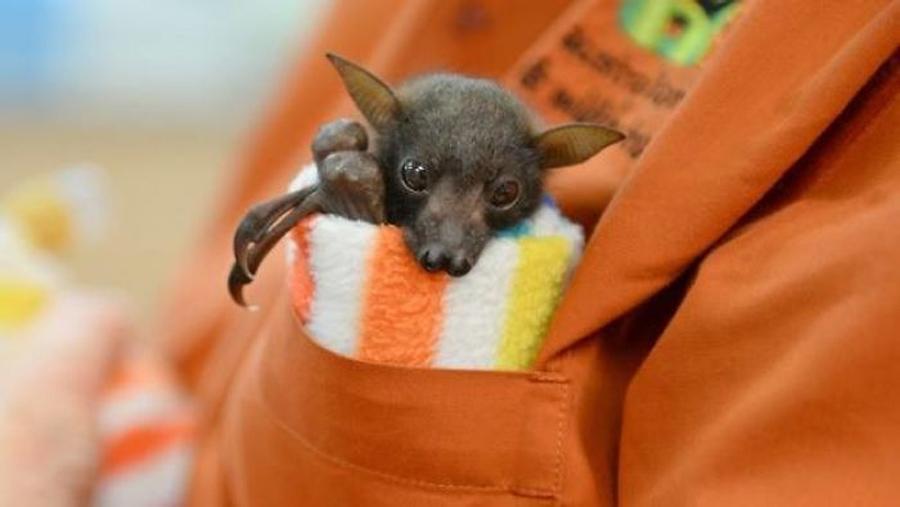 morcego-no-bolso