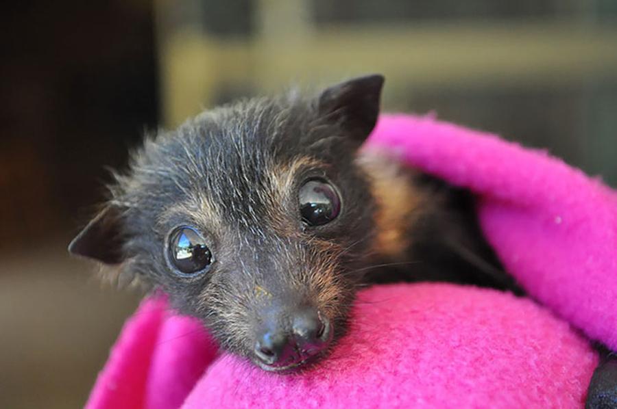morcego-olhos-grandes