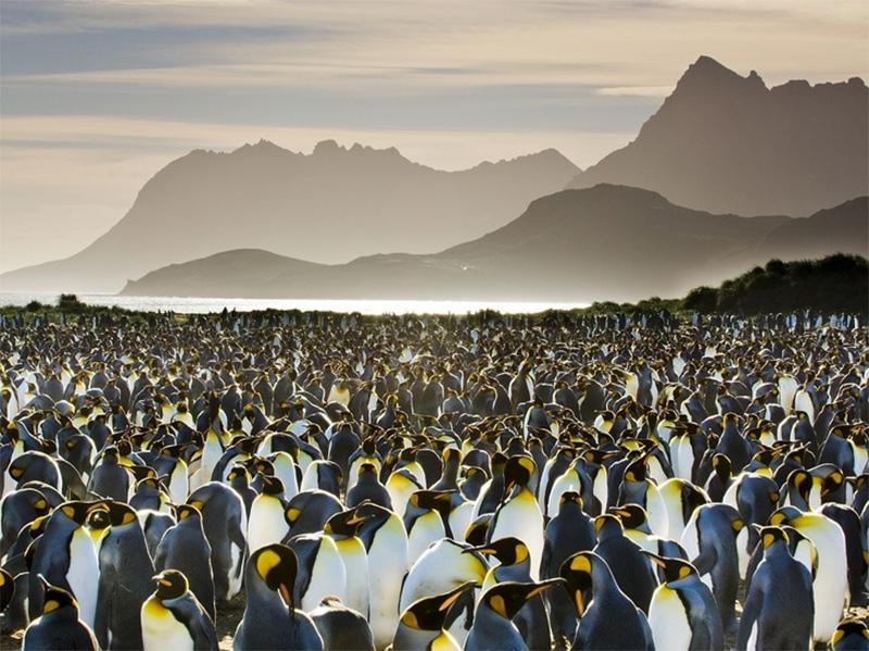 Uma colônia de pinguins… Muitos pinguins!
