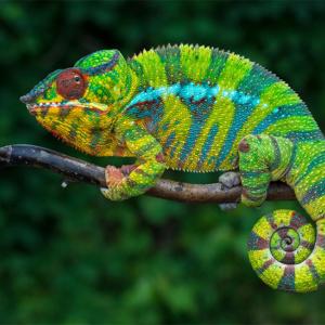 Como e por que camaleões mudam de cor?