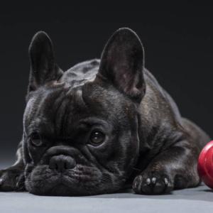 Bulldog francês morre por causa do calor no Rio