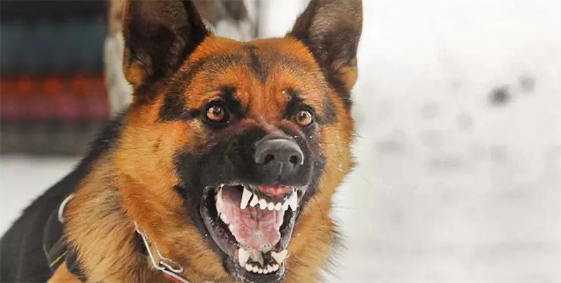 Conheça as 13 raças de cachorro mais perigosas do mundo
