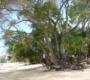 Descubra qual é a árvore mais perigosa do mundo