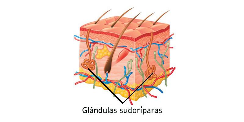 glândulas sudoríparas