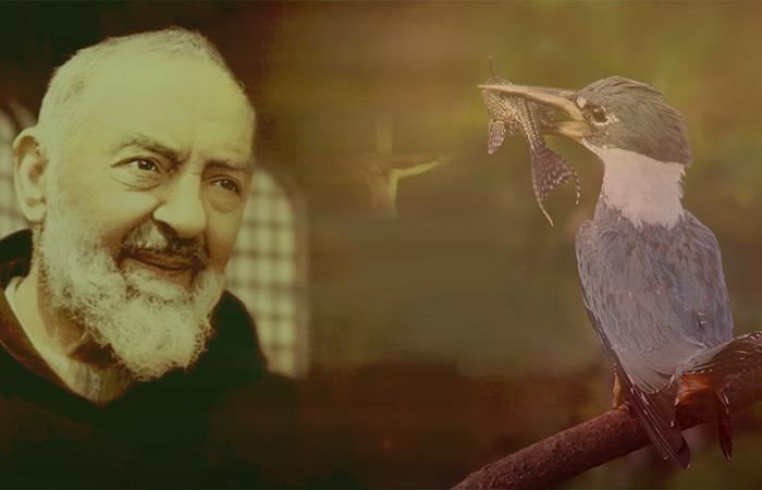 Um lindo ensinamento com São Padre Pio de Pietrelcina e o Martim Pescador